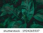 Abstract Banana Leaf Texture ...