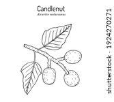 candlenut or kukui tree  indian ...   Shutterstock .eps vector #1924270271