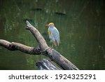Yellow Billed Egret Sitting On...