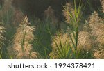 Blurred Image Of Reed Flowers...