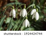 Closeup Flowers Of Snowdrop Or...