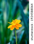 Sulfur Cosmos Yellow Flower In...