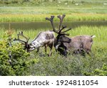 Two Wild Caribou Graze In The...