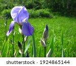 Blue Bearded Iris  Iris...