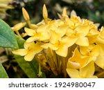 Yellow Ashoka Flower Is Nice...