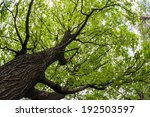 Big Old Maple Tree Shot From...