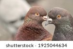 Pigeon Heads Standing Next To...