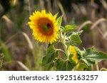 Bumblebee On Sunflower In Summer