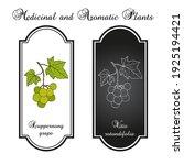 scuppernong grape  vitis...   Shutterstock .eps vector #1925194421