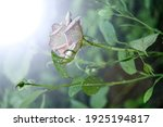 White Rose With Dew Drops