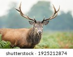 Portrait Of A Red Deer Stag  Uk.