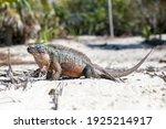Portrait Of Iguana At Bahamas ...