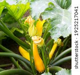 Small photo of Zucchini plant. Zucchini with flower and fruit in field. Green vegetable marrow growing on bush. Courgettes blossoms.