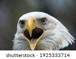 American Bald Eagle Close Up...