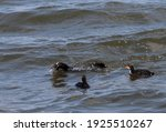Eurasian Coot  Common Coot  Or...