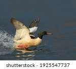 A Magnificent Wild Pilon Duck...