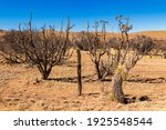 Cactus And Yucca In Chihuahuan...