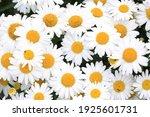 Beautiful Blooming Oxeye Daisy...
