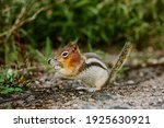 Close Up Of Wild Chipmunk...