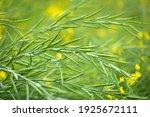Green Mustard Pods Growing At...