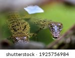 Two Young Estuarine Crocodiles...