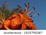 Beautiful Flower Of Orange Lily ...