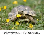 Small photo of Hermann's Tortoise in a garden eating a buttercup