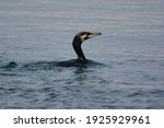The Black Cormorants Swimming...