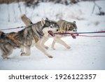 siberian husky dogs portrait in ...   Shutterstock . vector #1926122357