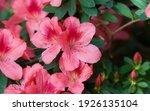 Blooming Pink Violet Azalea...