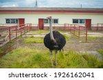 african ostrich in the russian...   Shutterstock . vector #1926162041