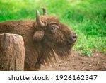 european bison in the russian...   Shutterstock . vector #1926162347