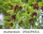 pine tree branch with cones.... | Shutterstock . vector #1926294311
