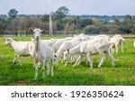 White Goats In A Meadow Of A...
