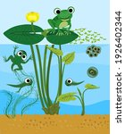 frog life cycle. sequence of... | Shutterstock .eps vector #1926402344