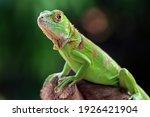 Closeup Head Of Green Iguana ...