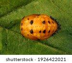 Ladybug  Ladybird   Harmonia Sp....