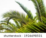 Palm Leaves Against The Sky....