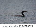 A Black Cormorant In The Sea