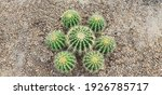 Golden Barrel Cactus Features A ...