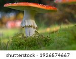 Amanita Muscaria  Commonly...