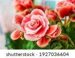 Close Up Of Pink Begonia...