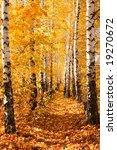Birch Autumnal Alley. Sun...