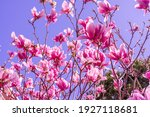 Magnolia Big Pink Blossom Tree...