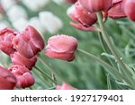 Pink Tulips On A Blurry Green...