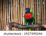The Nice Coconut Lorikeet Bird...