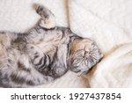 The Gray Scottish Fold Cat Lies ...