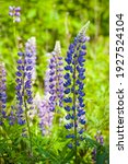 Blooming Lupine Flower. Lupine  ...