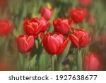 Colorful Tulips Blossom In...