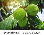 Beautiful Fresh Breadfruit  ...